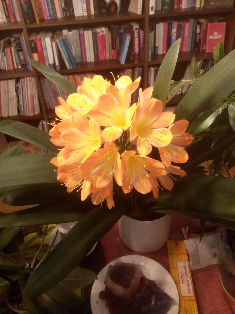 Kleurrijke bloemen van de cliviaplant